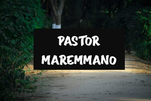 Pastor Maremmano